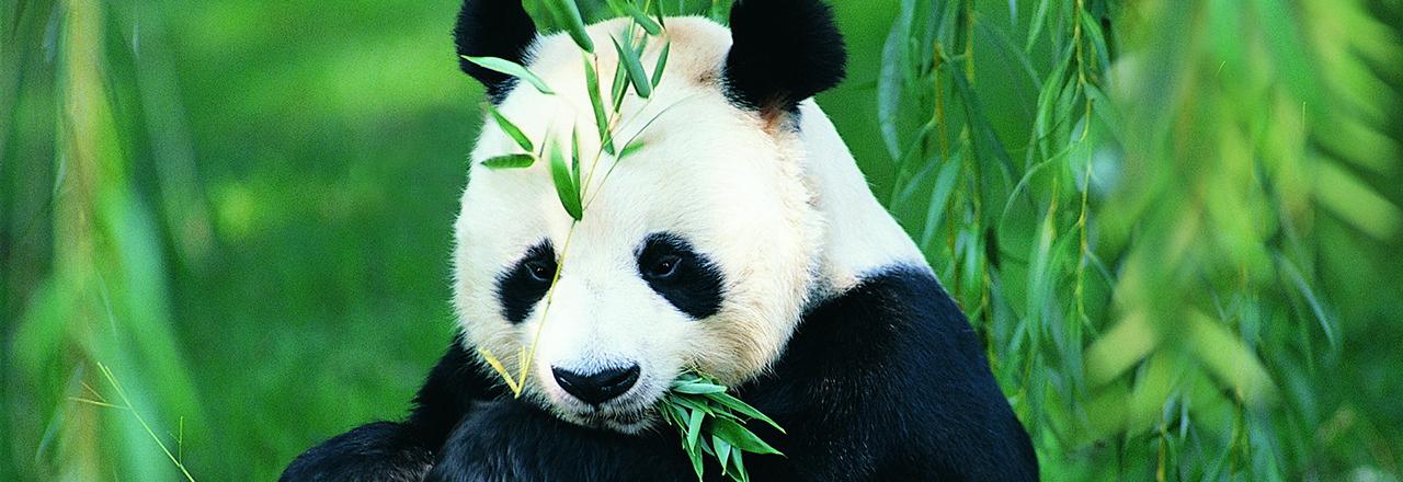 Pandas in the Sunbrella IMAX 3D movie theaters in Jordan's Furniture in Natick and Reading Ma